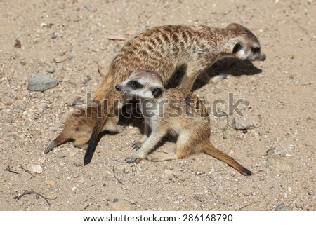 Meerkat (Suricata suricatta), also known as the suricate with two babies. Wildlife animal.  - stock photo