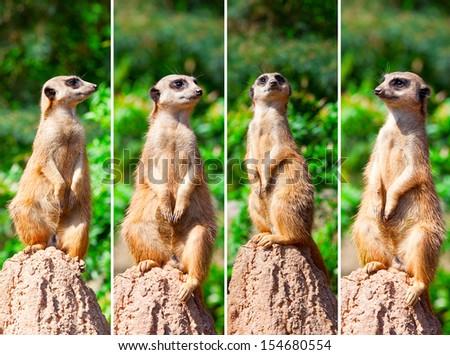 Meerkat suricata watching predators - stock photo