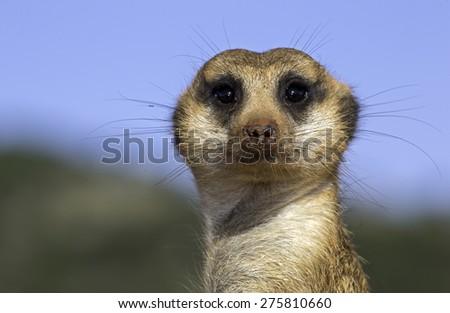 Meerkat Suricate - stock photo