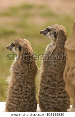 Meerkat/Suricate siblings basking in the sunlight.