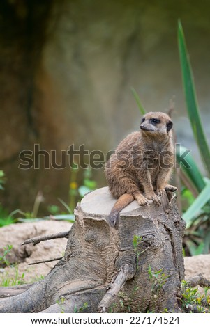 Meerkat suricate sitting on tree stump and looking curious - stock photo