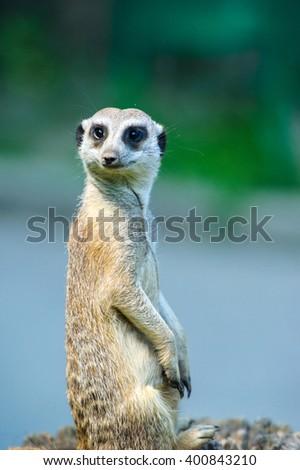 Meerkat (Surikate) - stock photo
