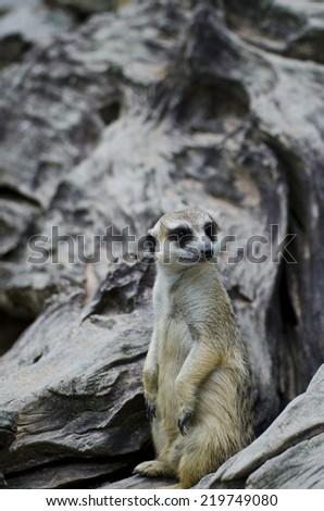 Meerkat (Surikate) standing upright  - stock photo