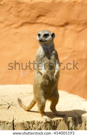 Meerkat.The picture shows meerkat standing on its hind legs.