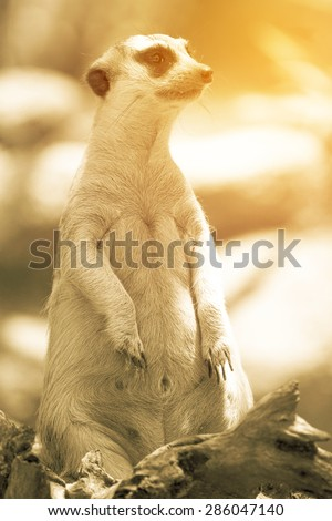 Meerkat. Vintage filter - stock photo