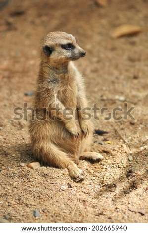 meerkat was sitting on the sand around to watch out for enemies.