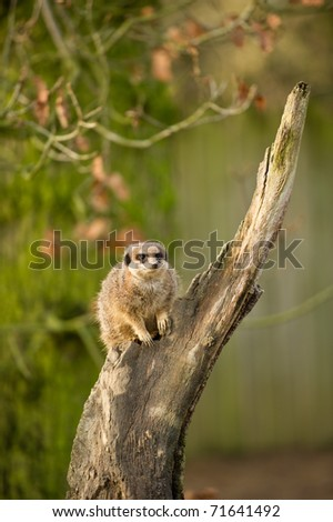 Meerkat with selective focus and copy space.