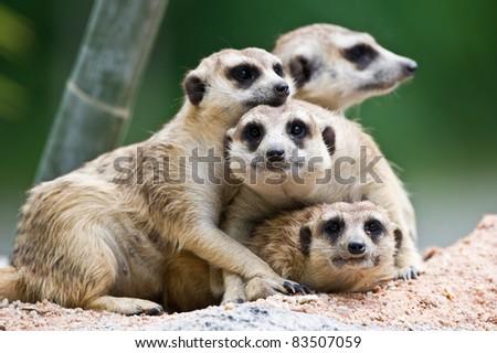 Meerkats - stock photo