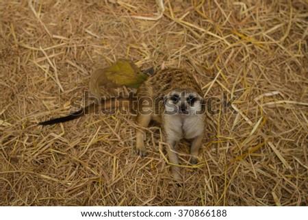 Meerkats cute - stock photo