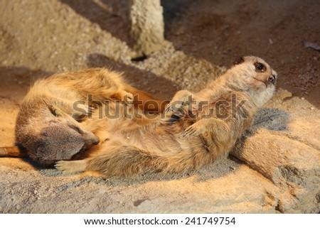 Meerkats having Fun (Suricata suricatta) - stock photo