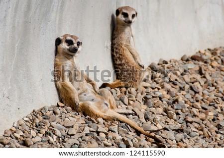 Meerkats sunbathing - stock photo