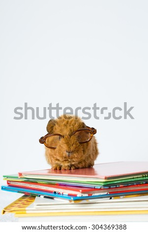 Meet Salt, a two-week old guinea pig who is ready to venture into the world but first he has to gain some knowledge. A lovely photo to teach various educational topics to all peoples around the world. - stock photo