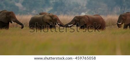 Meeting of two herds of African Bush Elephants,Loxodonta africana in savanna. Chobe river,  Botswana. Panoramic photo. - stock photo