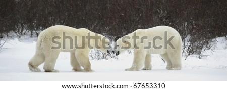Meeting of two polar bears. Two polar bears have met against a dark bush. - stock photo
