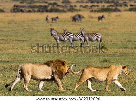 Meeting the lion and lioness in the savannah. National Park. Kenya. Tanzania. Masai Mara. Serengeti. An excellent illustration. - stock photo