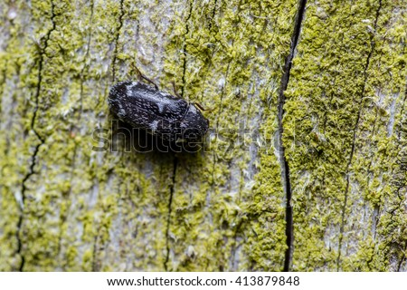 Megatoma undata beetle. An interesting species, even if not a great picture. A relative of the indoor dwelling carpet and larder beetles, this is a rarer outdoor beetle, feeding on dead wood.  - stock photo