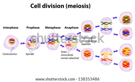 Meiosis cell division diagram stock illustration 138353486 meiosis cell division diagram ccuart Image collections