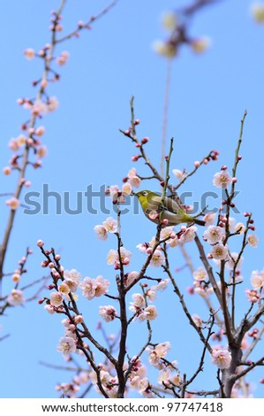 Mejiro and plum blossoms. Japanese white-eye on twig of Plum.