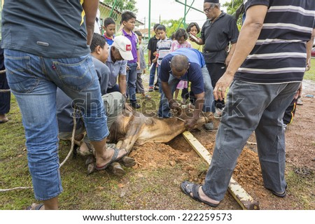MELAKA, MALAYSIA - OCTOBER 4: Unidentified Malaysian Muslims help in slaughtering a cow during Eid Al-Adha Al Mubarak, the Feast of Sacrifice on October 4 2014 in Melaka, Malaysia.