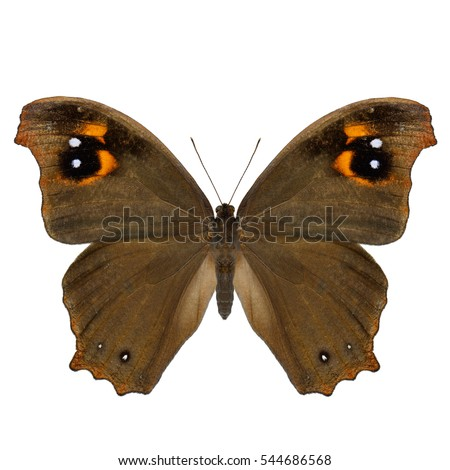 Melanitis leda, the common evening brown butterfly upper wing part in natural color profile isolated on white background, fascinated nature