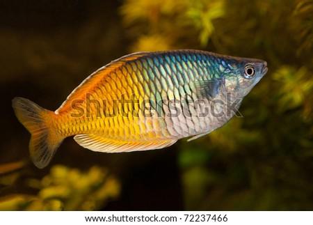 melanotaenia boesemani male in an aquarium - stock photo