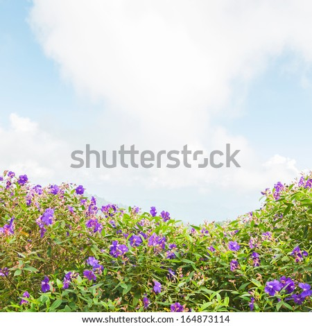 Melastoma Villosum with blue sky
