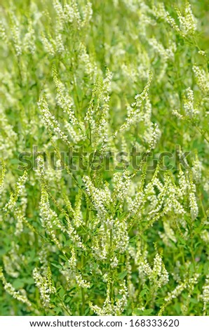 Melilotus albus flowers on meadow