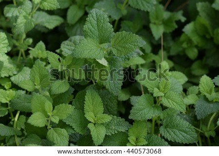 Melissa officinalis lemon balm plant leaves closeup.