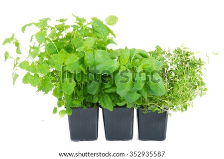 melissa, thyme and basil in a pot on white background