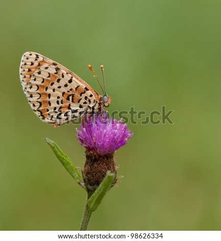 Melitaea Didyma butterfly (Spotted Fritillary) on a purple flower with an awesome background