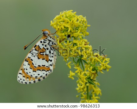 Melitaea Didyma butterfly (Spotted Fritillary) resting on a yellow flower/plant