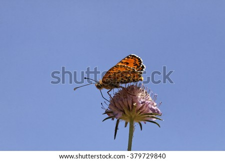 Melitaea didyma, Spotted fritillary or Red-band fritillary from Southern France, Europe - stock photo