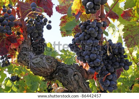 mellow blue grapes just before harvest in the languedoc in south france - stock photo