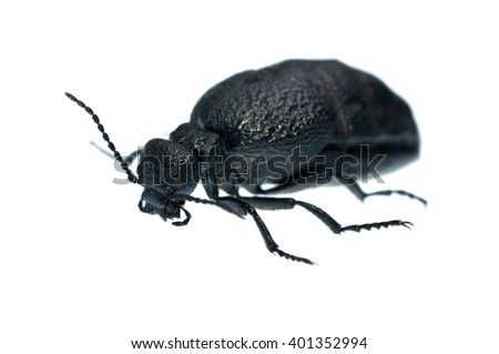 Meloe sp. blister beetle isolated on white - stock photo