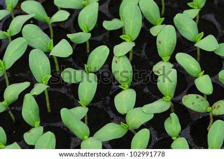 Melon, cucumber or cucumbid  seedling in pod or plastic tray. - stock photo