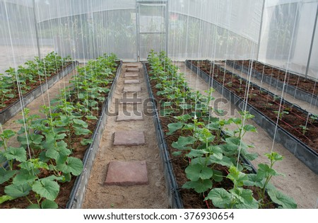 Melon growing in greenhouses  - stock photo