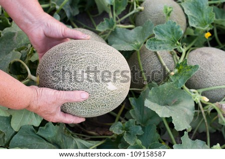 Melon in hands- selective focus on the hands