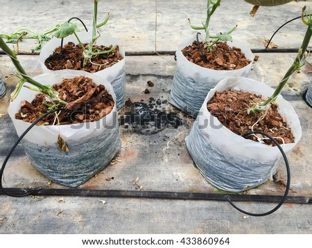 melon plant in white plastic bag in glass house with watering system. Filter effect. - stock photo