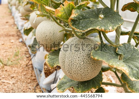 Melons growing in a greenhouse.Selective focus. - stock photo