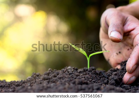Men hand are planting the seedlings into the soil.