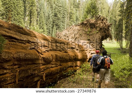 Men Hiking Along Fallen Redwood Tree in Sequoia National Park - stock photo