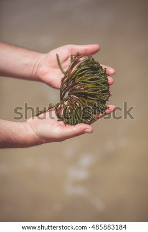 Men's hands showing wet green sea algae (seaweed)