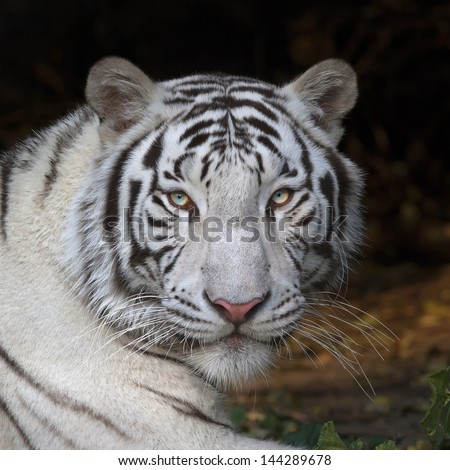 Menacing stare of a white bengal tiger, closeup portrait