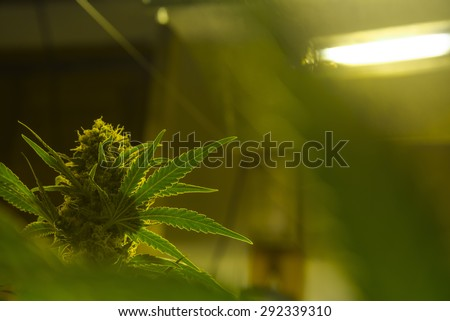 Mendocino - California indoor cultivation - stock photo