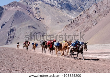 MENDOZA, ARGENTINA  - JAN 12: Mules carrying climber's equipment. Mules are the only way for move load the 27 KM distance to the base camp on Jan 12, 2012 in Aconcagua Mount, Mendoza, Argentina - stock photo