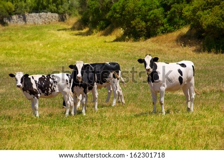 Menorca Friesian cow cattle grazing in green meadow at Balearic Islands of Spain - stock photo