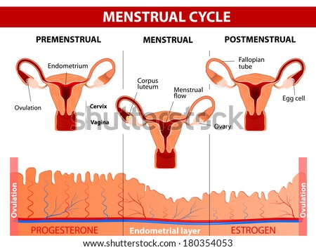Menstrual cycle menstruation follicle phase ovulation stock menstruation follicle phase ovulation and corpus luteum phase diagram ccuart Gallery