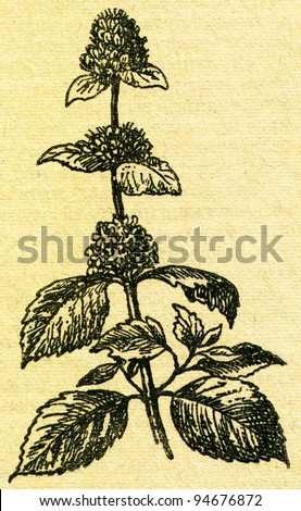 """Mentha, also known as Mint - an illustration from the book """"In the wake of Robinson Crusoe"""", Moscow, USSR, 1946. Artist Petr Pastukhov - stock photo"""