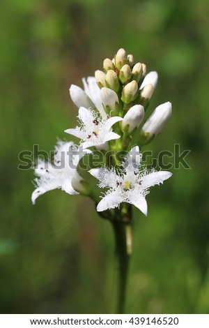 Menyanthes trifoliata. White flowers and buds of a plant