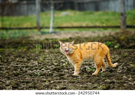 Meowing Adult Red Cat Against Outdoor Countryside Background. Spring Time - stock photo